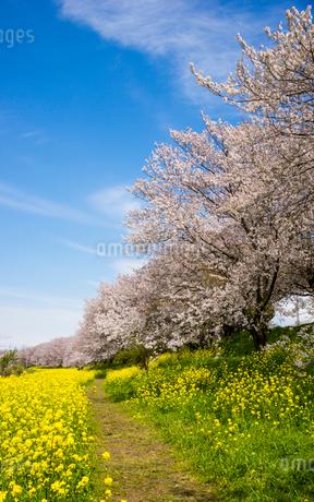 さくら堤公園 菜の花畑の小道と桜並木の写真素材 [FYI02933827]