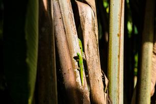 ハワイ島のヒロオヒルヤモリの写真素材 [FYI02934260]