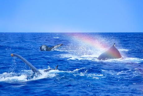ザトウクジラのメイティングポッドのレインボーブロウの写真素材 [FYI02934356]