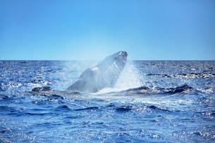 ザトウクジラのヘッドスラップの写真素材 [FYI02934357]