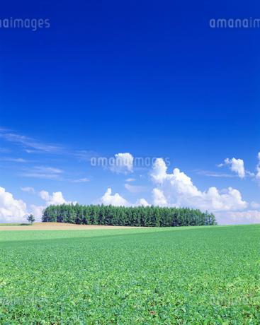 アズキ畑とカラマツ木立の写真素材 [FYI02934412]
