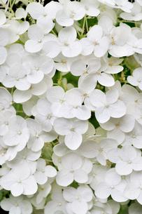 白い紫陽花のクローズアップの写真素材 [FYI02934438]
