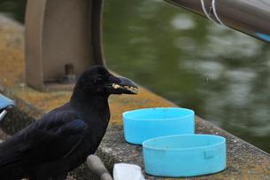 釣りの餌を食べるカラスの写真素材 [FYI02934597]
