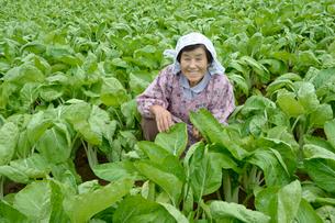 埼玉県伝統野菜シャクシナ畑と農婦の写真素材 [FYI02935089]