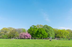 セントラルパーク グレートローン新緑の中に咲く桜の木の写真素材 [FYI02935105]