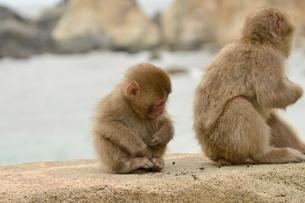 子供の猿の写真素材 [FYI02935352]