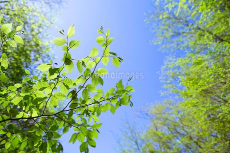 新緑に映えるブナの葉の写真素材 [FYI02935828]