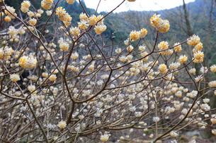 山間を埋め尽くすように咲くミツマタの写真素材 [FYI02935842]