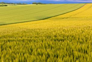 丘の町・美瑛の田園風景の写真素材 [FYI02935943]