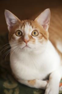 目を見開き見つめる猫の写真素材 [FYI02936026]