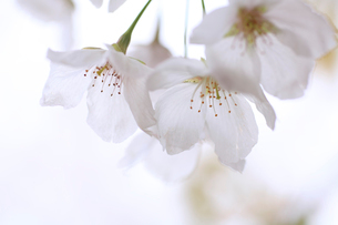 桜の花びらの写真素材 [FYI02936148]