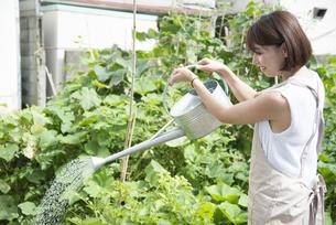 畑に水を撒いている女性の写真素材 [FYI02936180]
