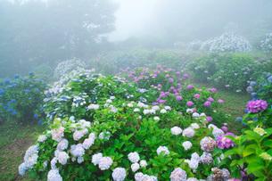 笠山観光農園あじさい園の写真素材 [FYI02936241]