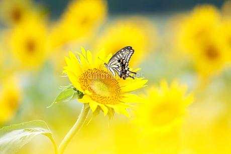ヒマワリ畑のアゲハチョウの写真素材 [FYI02936305]
