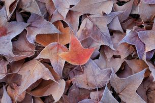 霜の着いた落ち葉の写真素材 [FYI02936694]