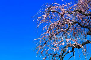 ウメの古木と青空の写真素材 [FYI02936910]
