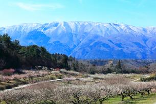 ウメの花と残雪の鈴鹿山脈の写真素材 [FYI02936911]