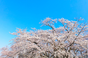 桜と快晴の空の写真素材 [FYI02937223]