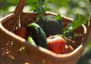 穫れたて有機野菜の写真素材 [FYI02937316]