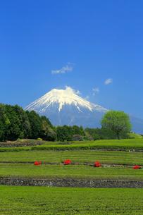 富士山と茶畑の写真素材 [FYI02937463]