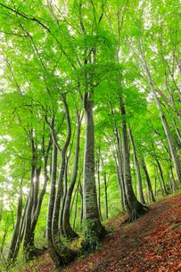 ブナの森の写真素材 [FYI02938418]