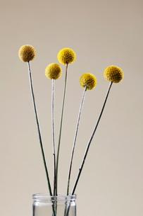 Yellow ball-shaped flowersの写真素材 [FYI02939008]