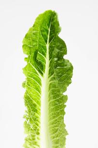 Single Romaine lettuce leafの写真素材 [FYI02939414]