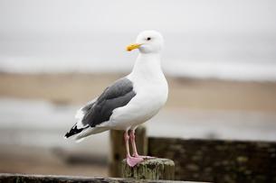 Herring gullの写真素材 [FYI02939475]