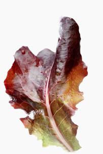 Oak leaf lettuceの写真素材 [FYI02939624]