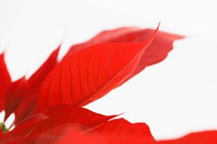 Petals of Poinsettia flowerの写真素材 [FYI02940340]