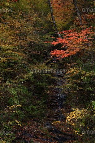面合渓谷(紅葉)石鎚山の写真素材 [FYI02940431]