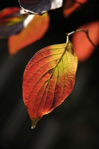 柿の葉の写真素材 [FYI02940997]
