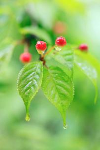 雨上がりの中の森で新緑に映える山桜の実の写真素材 [FYI02941185]
