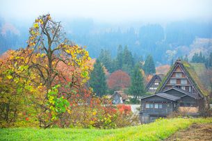 秋の白川郷 柿の木と合掌造り集落に霧の写真素材 [FYI02941244]