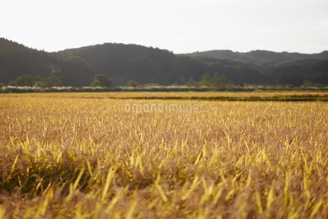 秋の稲田の写真素材 [FYI02941861]