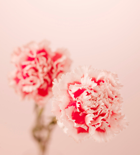 Pink Carnation Flowersの写真素材 [FYI02942134]