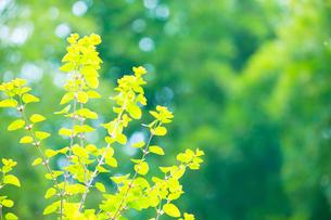 新緑のカツラの写真素材 [FYI02942173]