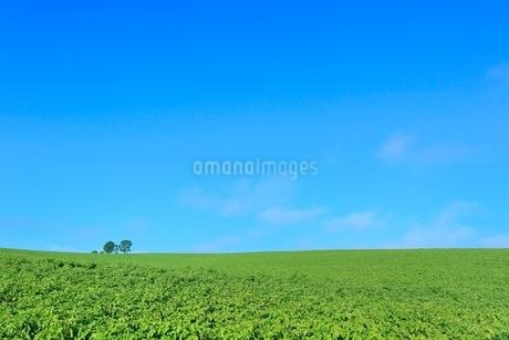 美瑛 親子の木の写真素材 [FYI02942355]