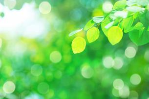 カツラの新緑アップとぼけた森の写真素材 [FYI02942521]