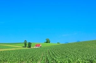 美瑛 赤い屋根の家とトウモロコシ畑の写真素材 [FYI02942614]