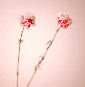 Pink Carnation Flowersの写真素材 [FYI02942817]