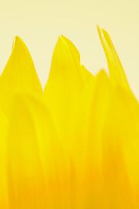 Close-up of sunflower petalsの写真素材 [FYI02943277]