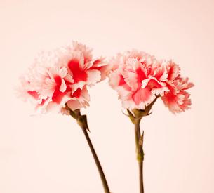 Pink Carnation Flowersの写真素材 [FYI02943337]