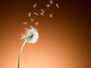 Dandelion seeds blowing against orange backgroundの写真素材 [FYI02943492]