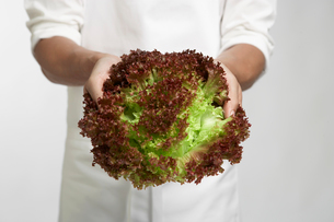 Chef holding red leaf lettuceの写真素材 [FYI02944100]