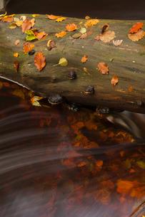 Sweden, Skane, Soderasen National Park, Close up of tree log in waterの写真素材 [FYI02944809]