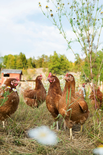 Sweden, Uppland, Stockholm archipelago, Grinda, Chickens grazing in grassの写真素材 [FYI02944916]