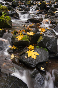 Autumn maple leaves on the smooth rocks at Starvation Creek falls in the Columbia River Gorge.の写真素材 [FYI02945626]