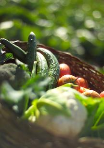 穫れたて有機野菜の写真素材 [FYI02946309]