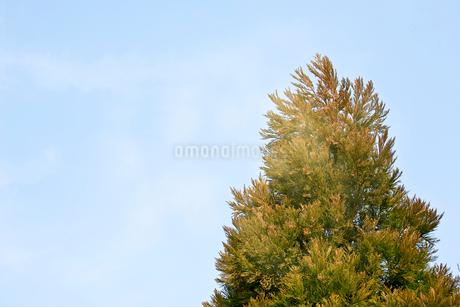 サンブスギの写真素材 [FYI02947231]